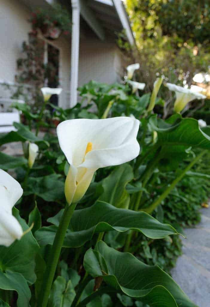 This giant calla lily seems to enjoy our shady front garden. It grows to almost 4 feet tall with blooms as big as my hand! - The Handyman's Daughter