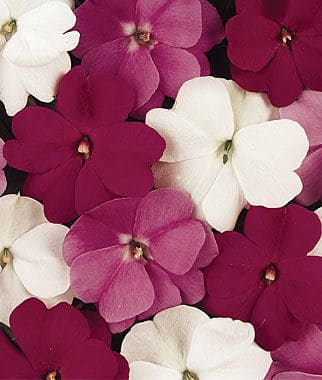 Impatiens make great border plants for a shade garden. Plant them along the edge of the bed to define the space with color. - The Handyman's Daughter