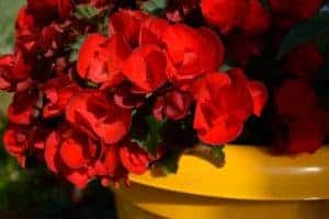 These begonias multiplied like crazy in our shady front porch planter! - www.thehandymansdaughter.com