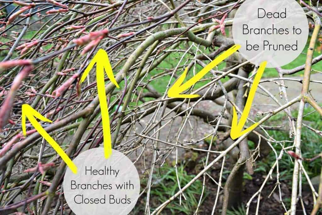 Dead branches to be pruned vs healthy branches with closed buds - TheHandymansDaughter.com