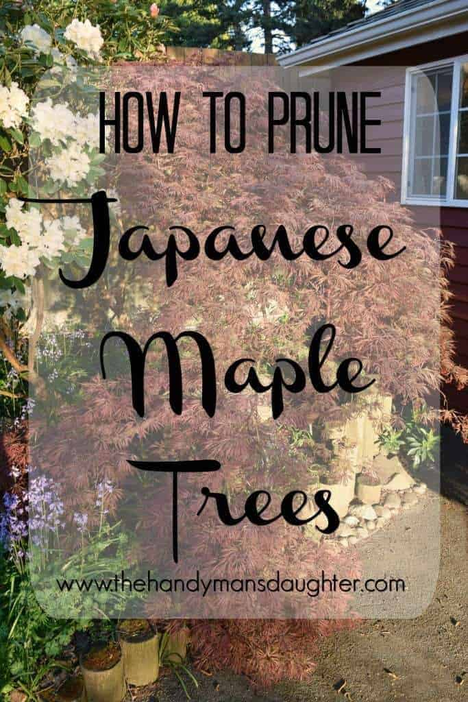 How to Prune Japanese Maple trees - TheHandymansDaughter.com