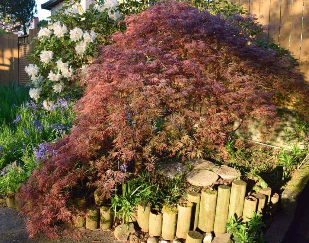 These handy tips will teach you how to prune your Japanese maple tree and make it look its best! - TheHandymansDaughter.com