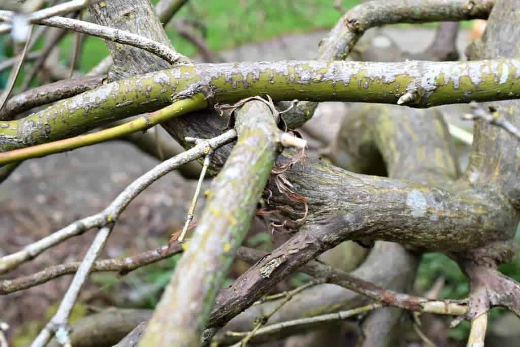 Remove any branches that are touching or rubbing against each other - The Handyman's Daughter