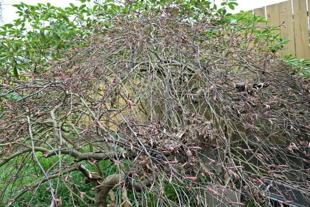 Our weeping Japanese Maple was a tangled mess! It needed some serious pruning to bring it back to its former glory. - The Handyman's Daughter