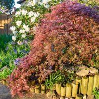 weeping Japanese maple in garden