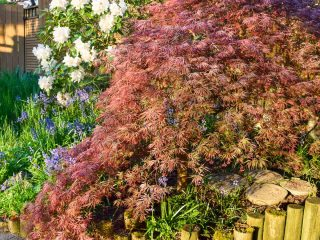 weeping Japanese maple in garden