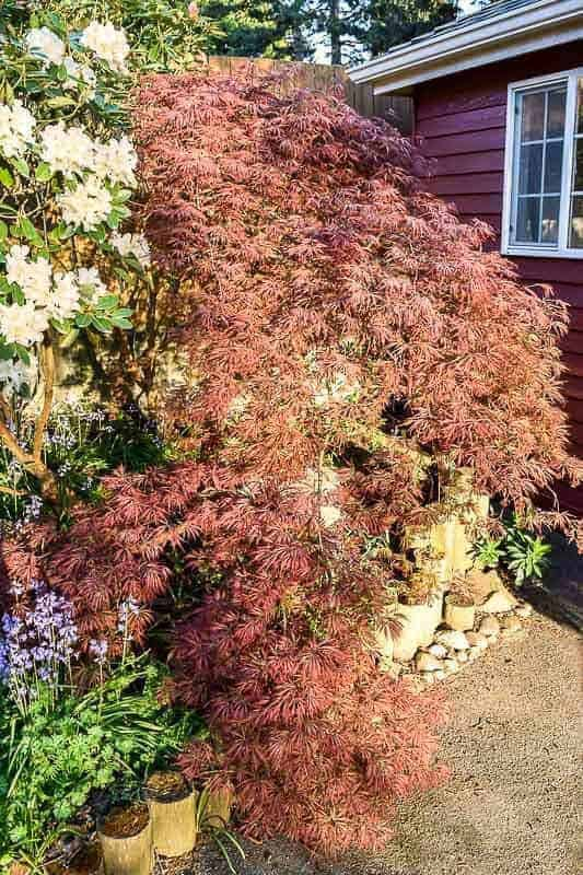 How to prune Japanese Maple trees for a beautiful cascade of leaves!