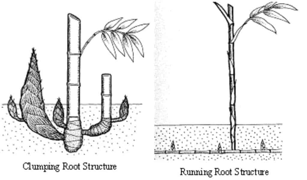 clumping bamboo and running bamboo root structure