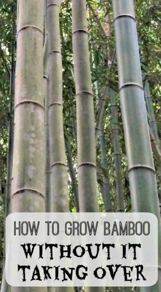 "large grove of bamboo with text overlay ""How to Grow Bamboo without it taking over"""