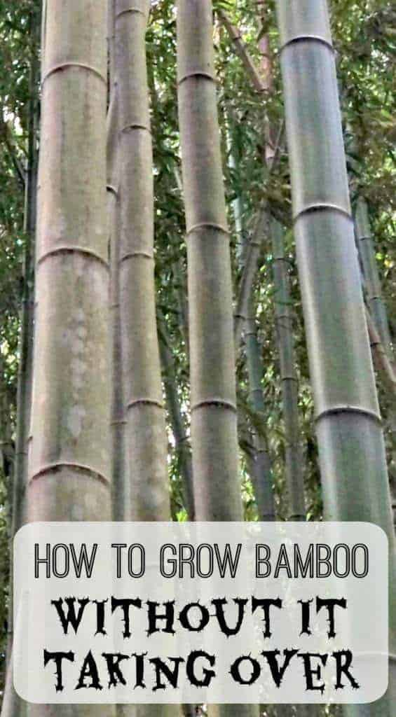 Bamboo gets a bad rap as an invasive plant, but there are ways you can contain it and create a beautiful privacy wall of swaying bamboo! - The Handyman's Daughter