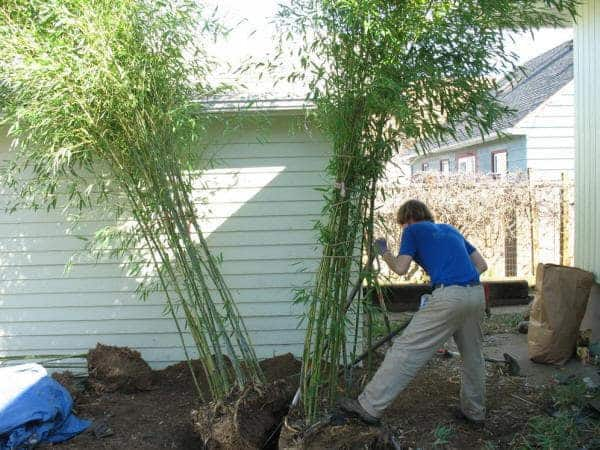 Dividing Clumping Bamboo Will Keep The Size In Check, And Allow You To  Create A
