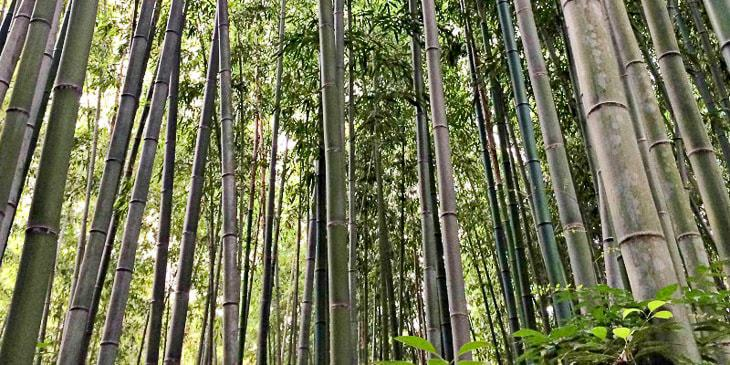 Tips For Growing Bamboo The Handyman S Daughter