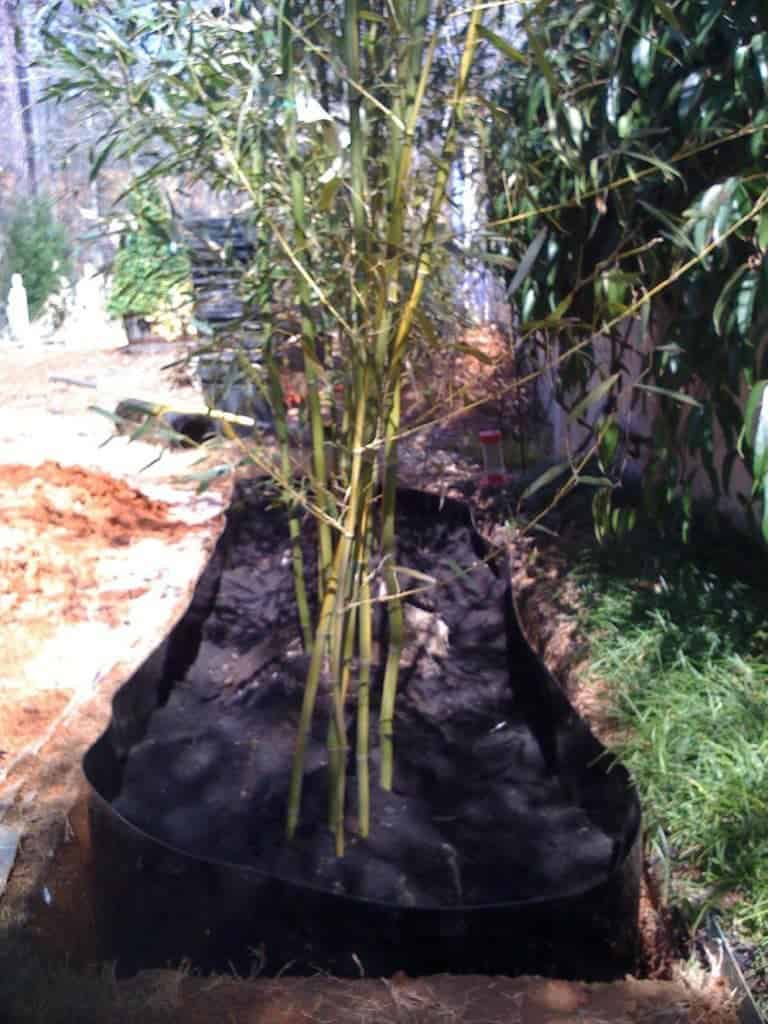 running bamboo planted with bamboo barrier