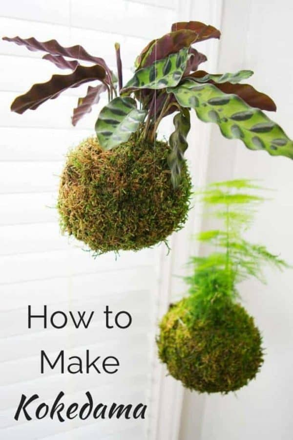 Kokedama, or Japanese moss balls, are easy to make and look amazing hanging in a bright window! Learn how to make your own in this handy tutorial.