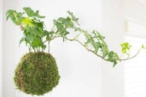 Kokedama, also known as a Japanese moss ball, is the perfect way to hang plants in your home without cluttering up the windowsill with pots! This easy tutorial will show you how to make your own!