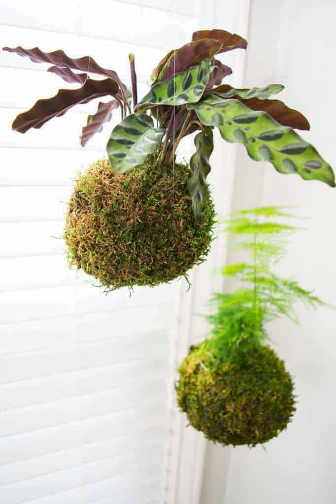 Kokedama, or Japanese moss balls, are perfect for hanging plants in a bright window. This easy tutorial shows you how to make your own kokedama!