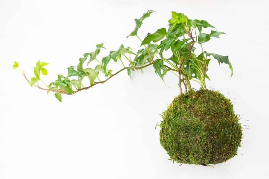 This kokedama, or Japanese moss ball, is easy to make and will make a beautiful addition to your window.