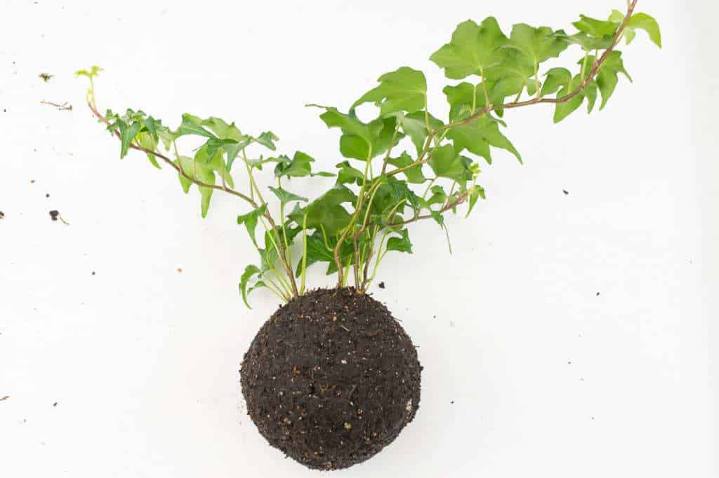 Form the two halves of the soil mixture ball around the roots of the plant.
