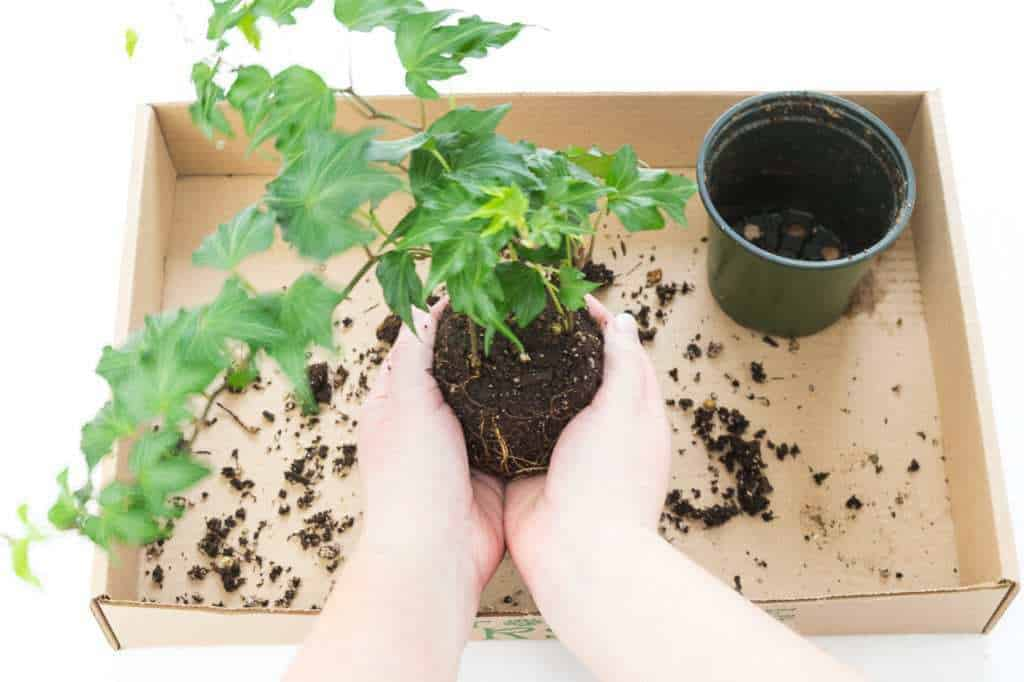 Mold the roots of your plant into a ball to create the kokedama.