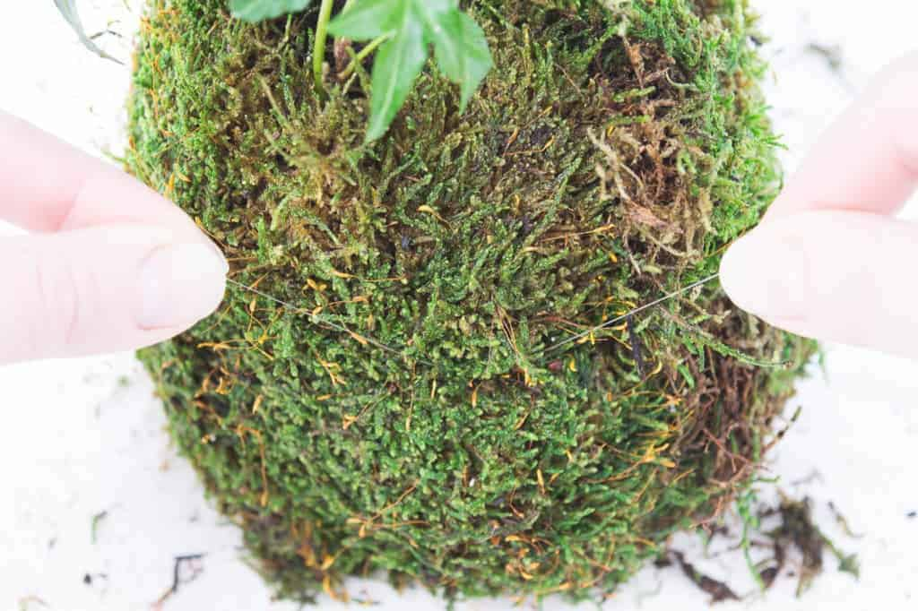 Tie fishing line around the middle of the kokedama to keep the moss in place.
