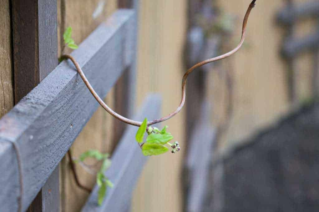 akebia vines hanging from DIY trellis