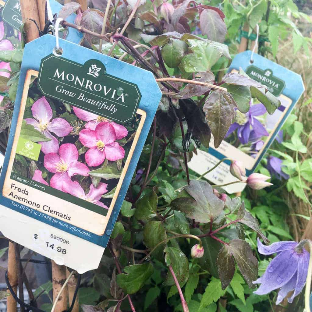 There are so many gorgeous Clematis options from Monrovia!