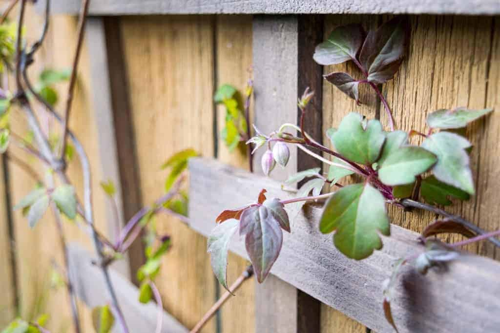 Weave your climbing vine through the slats of a trellis to give it a hand.