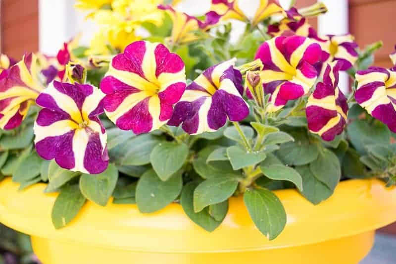 This bright yellow container full of colorful petunias and daisies give our front porch a huge boost of curb appeal!