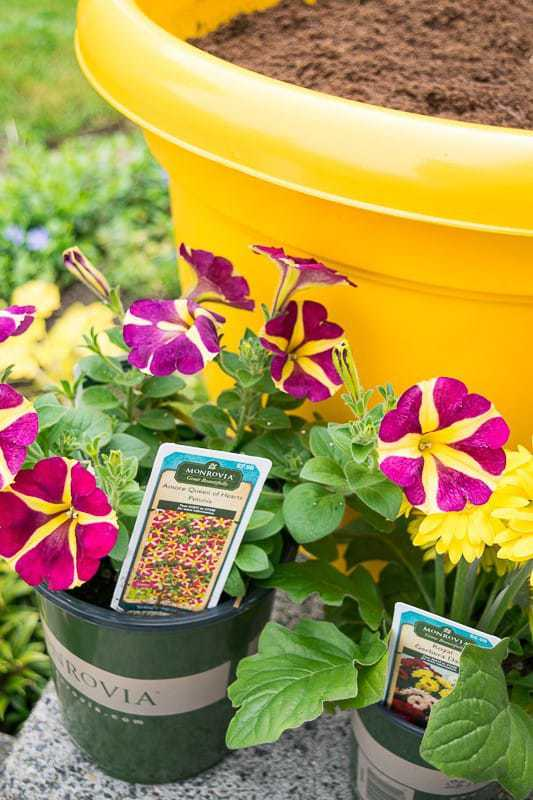 These gorgeous bi-colored petunias from Monrovia are the perfect plants for my yellow flower pot.