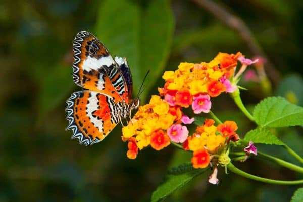 Butterflies prefer flat flowers or clusters of small flowers so they can gather nectar in your butterfly habitat garden.