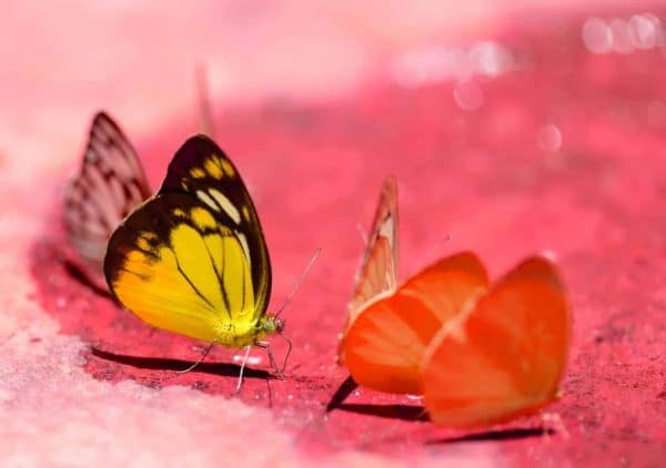Using colored sand may draw attention to your butterfly habitat garden easier!