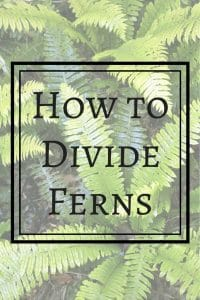 Did you know you can divide ferns to create free plants for your garden? These wonderful shade plants will fill in a woodland garden by separating a few larger ferns! | gardening | how to divide ferns | shade gardening
