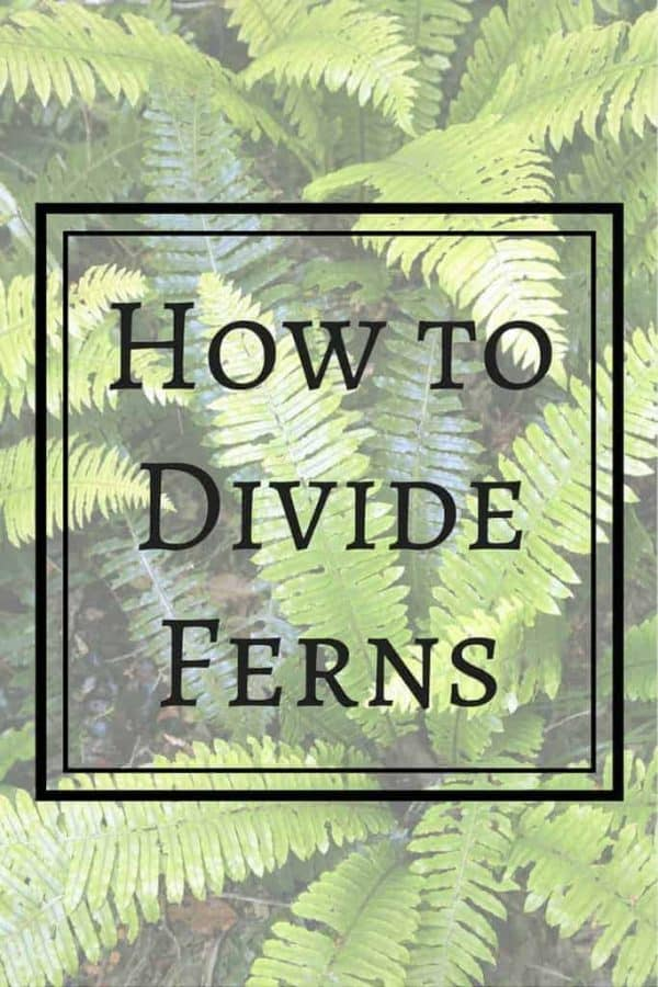 Did You Know You Can Divide Ferns To Create Free Plants For Your Garden?  These