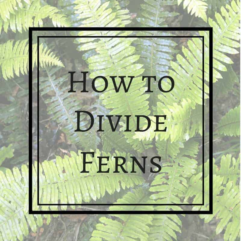 How to Divide Ferns to Create a Woodland Garden for Free