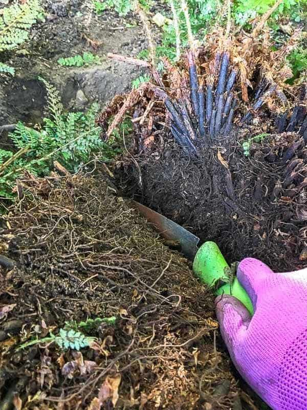Cut the root ball down the middle with a serrated trowel.