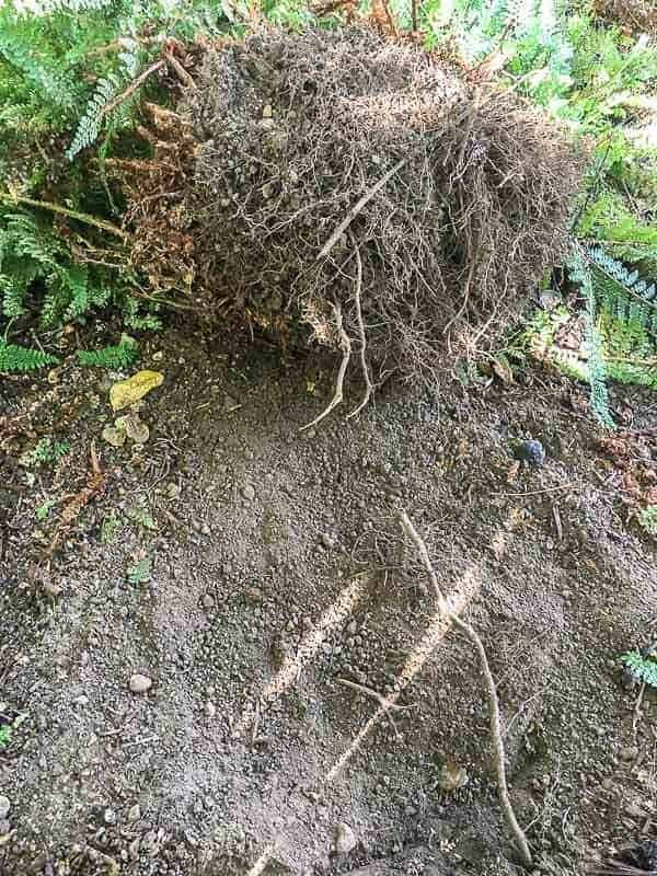 Fern roots are very shallow, so they're easy to dig up.