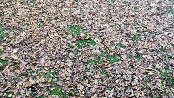 Our yard was a mess of leaves! But with the right landscape maintenance tools, cleaning them up is easy!