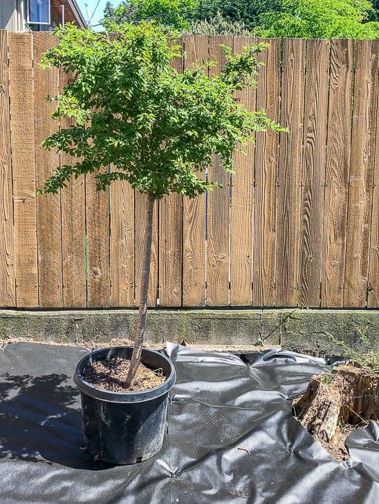 Little Twist Fuji Cherry tree in newly cleared garden
