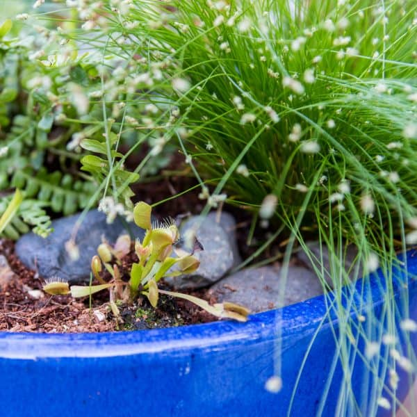 venus fly trap in carnivorous bog planter garden