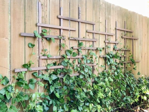 clematis trellis with vines growing on fence