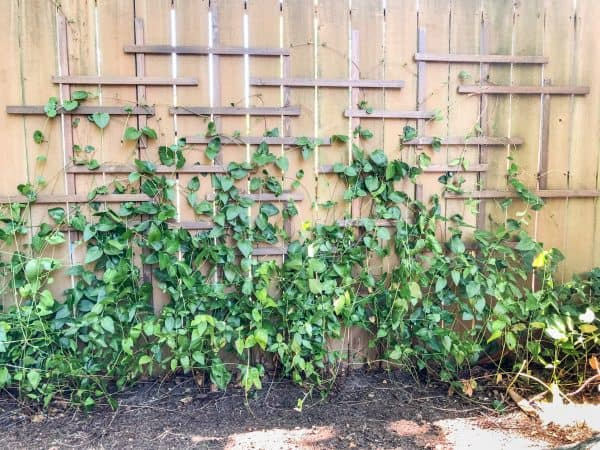 DIY clematis trellis with vines
