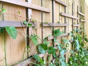 close up view of vines on clematis trellis