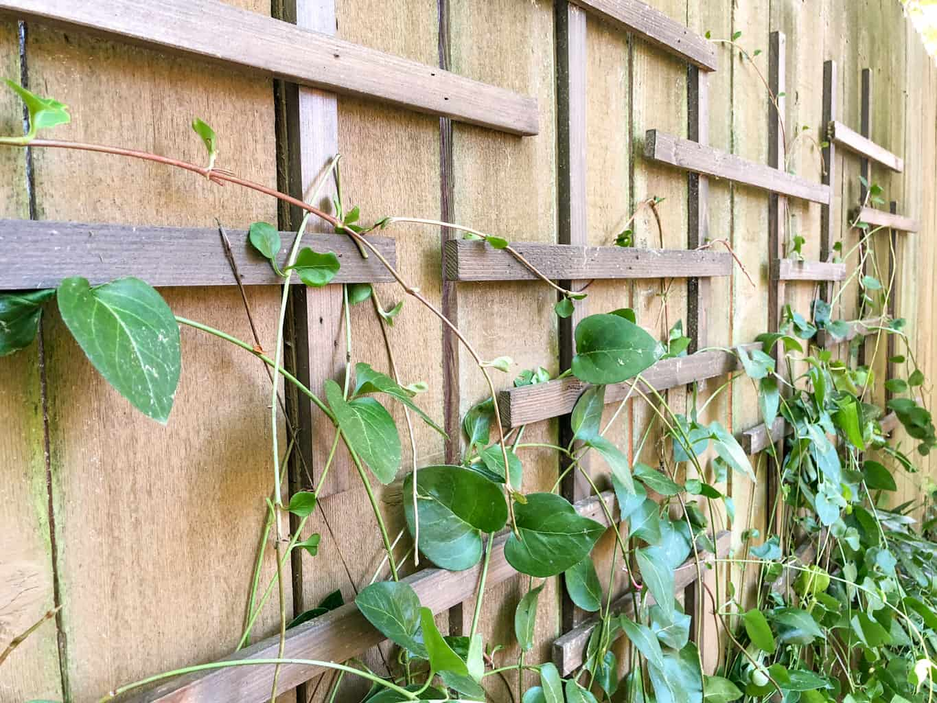 close up view of clematis trellis on fence