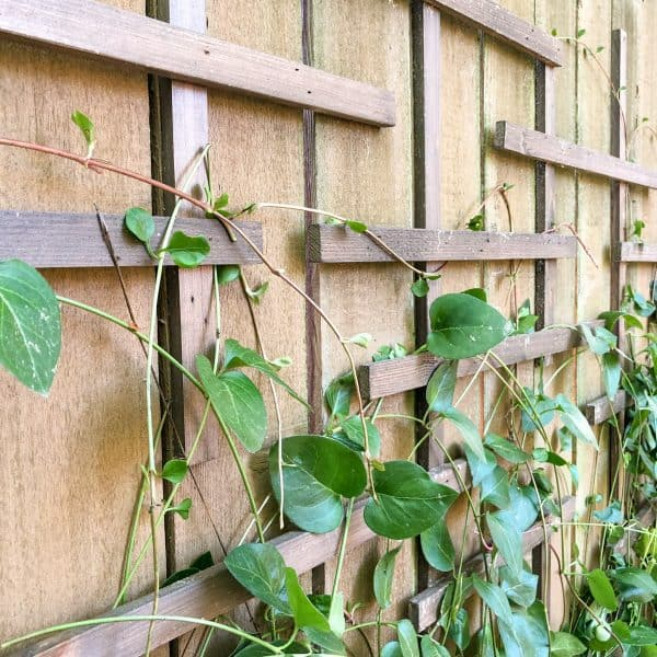 fence covered with clematis trellis and vines