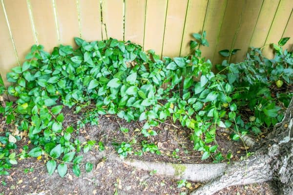 clematis vines in pile on ground