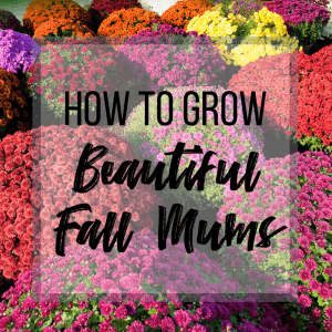 """various colors of fall mums with text overlay reading """"How to Grow Beautiful Fall Mums"""""""
