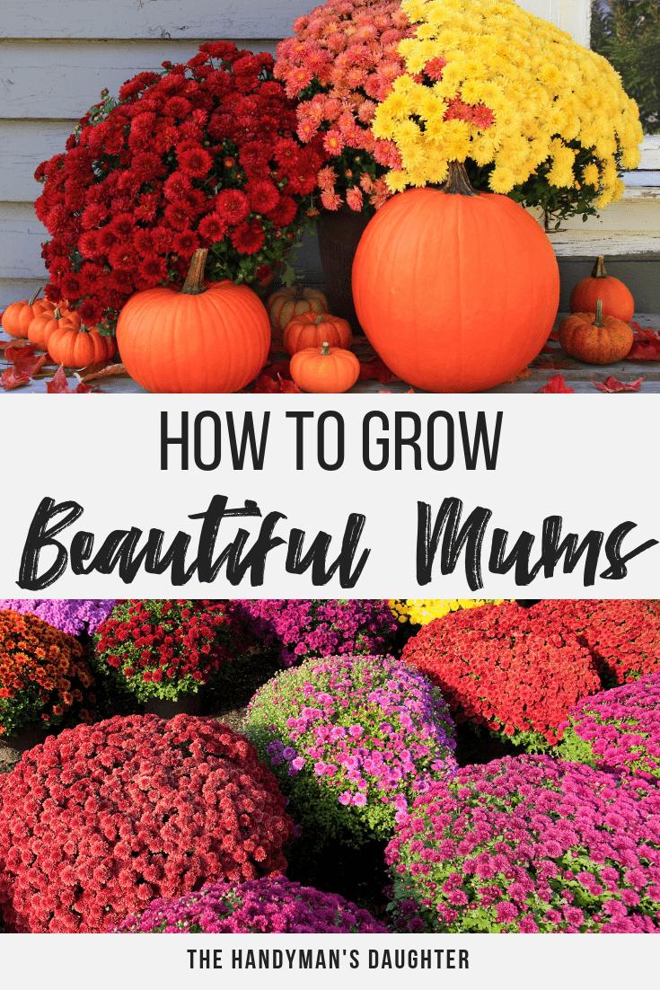 How to Grow Beautiful Fall Mums