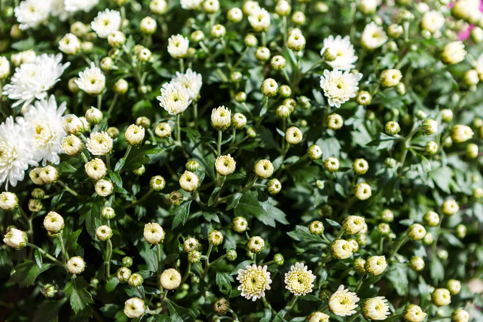 fall mums with flowers tightly closed