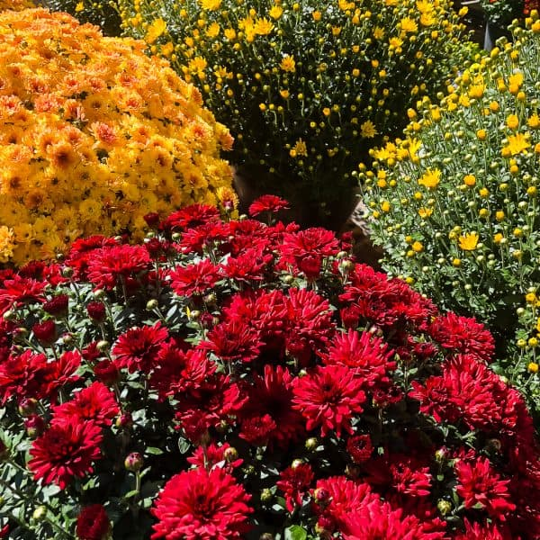 fall mums - both open and closed buds