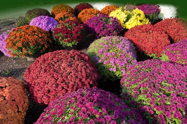 garden of fall mums in bloom